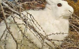 Как поймать кролика в огороде?
