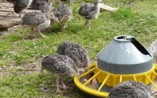 Правильный уход за новорожденными гусятами.