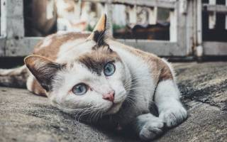 Лейкоз у кошек и котов симптомы и лечение