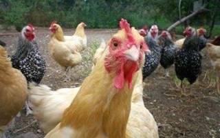 Звуки курицы какие звуки издают куры
