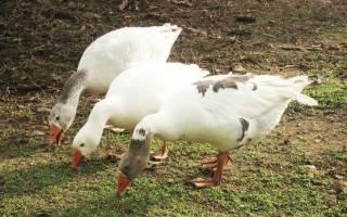Как разнообразить рацион гусят