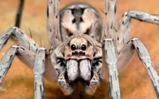 Все о черном ядовитом пауке