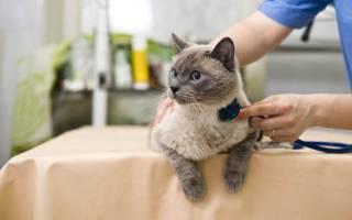 Гепатит у кошек ласковый убийца