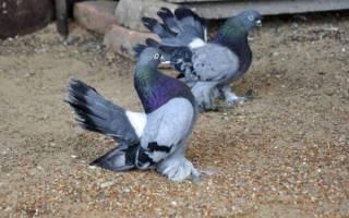 Пестрые голуби порода описание виды