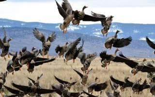 Виды гусей все разновидности домашних гусей