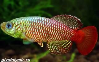 Рыбки нотобранхиусы в аквариуме