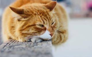 Симптомы и лечение бронхита у кошек