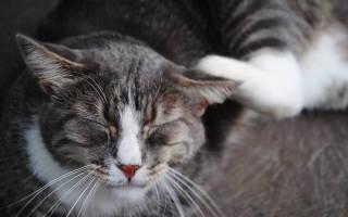 У кошки огромная рана в области шеи и за ухом