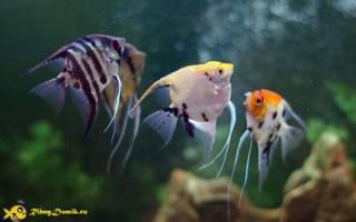 Совместимость скалярий с другими видами рыб