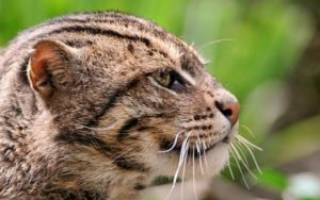 Описание кошек породы виверровый кот-рыболов