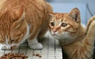 Чем можно кормить котенка: советы ветеринара
