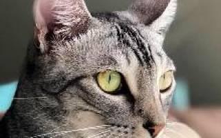 Выставка кошек породы Египетский Мау