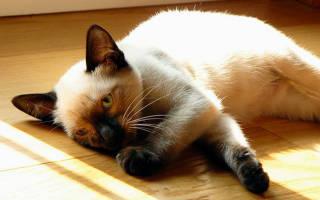 Болезни тайских кошек и их лечение