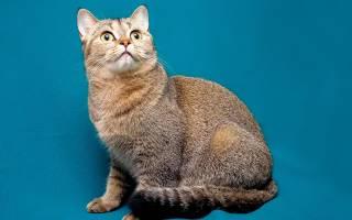 Какой характер у шотландских вислоухих кошек