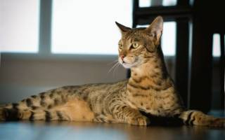 Кошка саванна: описание породы, характер