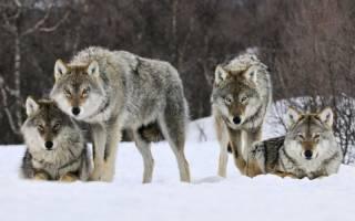 Самый большой волк в мире — Topkin