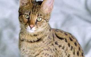 Кошка Ашера: фото, цена, описание породы