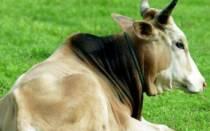 Дыхание коровы почему корова тяжело дышит