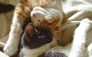 Первая вязка кошки. Когда можно и нужно ли