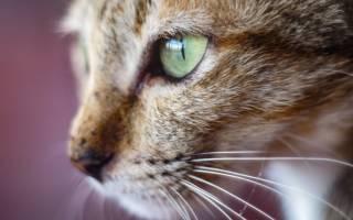Почему нельзя капать Альбуцид коту в нос
