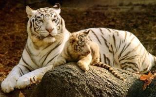 Белые тигры описание породы