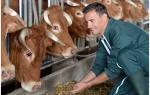 Кормление коров: рацион и нормы