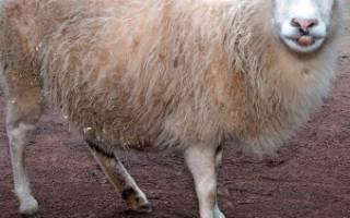 Беременность овец диагностика сроки