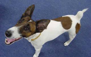 Что делать если у щенка чешутся уши