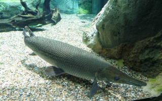Дожившие до наших дней доисторические рыбы