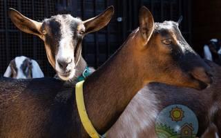Альпийская порода коз основные отличия