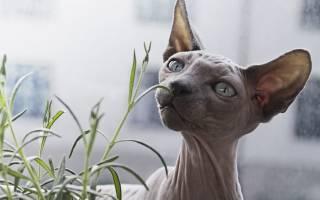 Сколько живут сфинксы лысые и голые кошки?