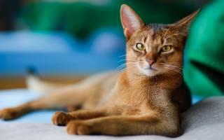 Атопия у кошек серьезная проблема