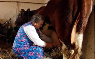 Доение коров техника безопасности при доении