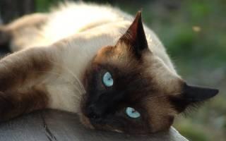 Воспитание сиамских кошек