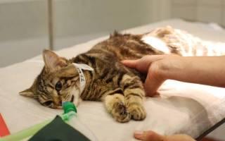 Причины и симптомы выкидыша у кошки