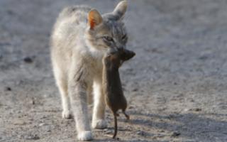 Породы кошек крысолов