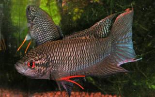Макропод черный (Macropodus concolor)