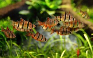 Барбусы совместимость с другими рыбами