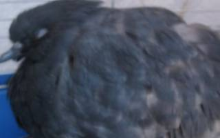 Симптомы болезней зеленый помет у голубя
