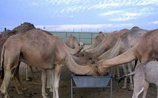 Сколько горбов у африканского верблюда