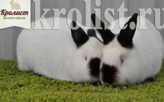 Сколько стоит кролик для разведения