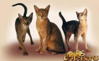 Абиссинская кошка стандарт породы