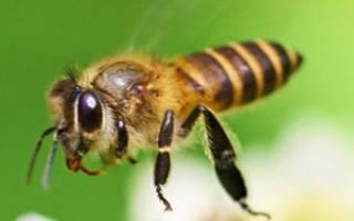 Правда ли что жужжание пчелы лечит