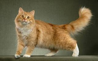 Остеохондроз основная причина хромоты у кошек