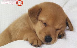 Как приучить щенка спать ночью