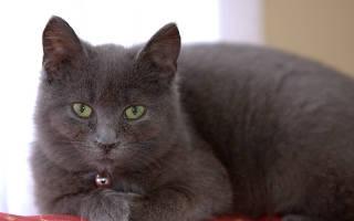 Кошка серой породы характер и повадки