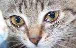 У кота слезятся глаза что делать чем лечить