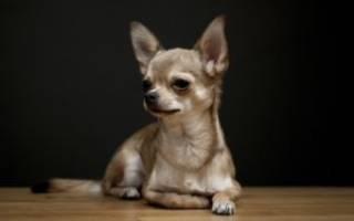 Чем кормить щенка ЧИХУАХУА в 2-3 месяца?