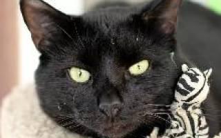 Бомбейская кошка бомбей