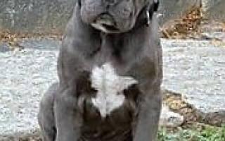Характер и воспитание щенка кане корсо